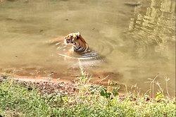Tiger Safari Special Tour, Alishba Holidays.
