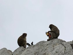 Barbary apes enjoying a snack thanks to careless tourists
