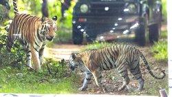 Jungle Safari in Ranthambore national park Rajasthan India