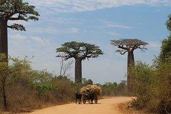 Auf dem Weg zu den Tsingys von Bemaraha. Baobab-Bäume ranken am Rand der Weg. Diese Szene erleben Sie nur in diesem südwestlichen Teil Madagaskars um Morondava.