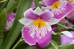 Ecuagenera - Orchids from Ecuador