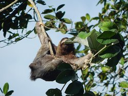 On our last trip into the Jungle, sloth snacking in the tree.