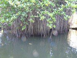 The Mangroves-Bentota river safari