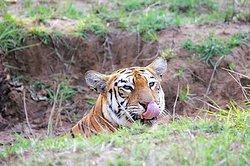 Maya the Super Tigress with Cult status