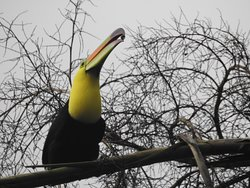 Keel billed Toucan offering berry to mate