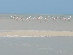 Beautiful Flamingos close to Mazaruke