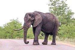 Elephant around Mopani.