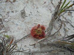 Plante carnivore Drosera mont Bokor