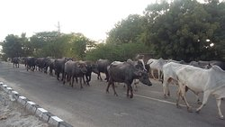 India water buffalo on the road in a group at Rajasthan (India) picture by Ravi India Tours