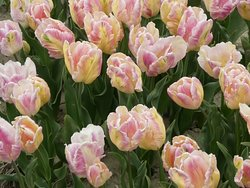 Tulips and other flowering spring flowers beyond compare