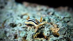 Nudibranch pigama