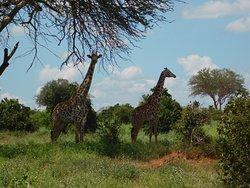 Girafes à TSAVO EST
