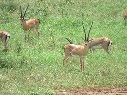 Gazelles à TSAVO EST