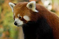 la douceur du panda roux