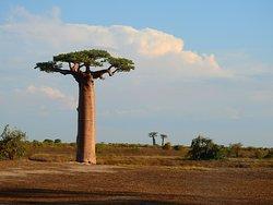 Baobabs in der Nähe von Morondava