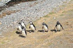 Магеллановы пингвины с острова Магдалены