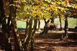 Hateg-Slivut Bison Reserve