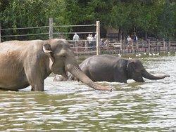 Le nouveau bain des éléphants dans le grand étang