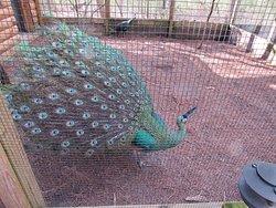 Fancy Peacocks!