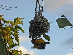 Busy weaver bird