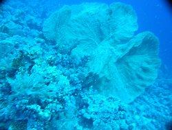 Belles Gorgones de Gordon Reef