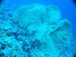 Jolie Gorgone de Gordon Reef