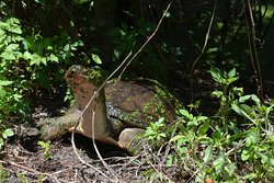 Soft-shell turtle laying her eggs
