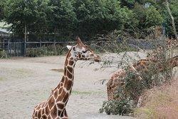 Giraffes in the African Plains  at Dublin Zoo