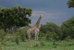 Giraffe with the lush landscape and impressive skies of the green season.