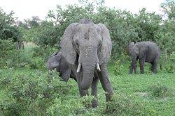 Elephant on game drive.