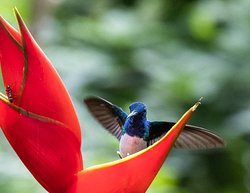White-necked Jacobin visiting a heliconia at the hummingbird viewpoint