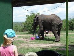 An elephant in a restaurant drinks from a tap  Queen Elizabeth National Park near Mweya