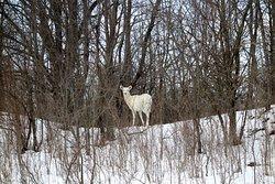 A beautiful white deer watching us