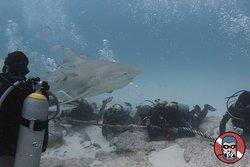 Bull shark dive.