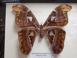Dünyanın en büyük kelebeği deniliyor