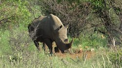 A big surprise to see this giant rhino!