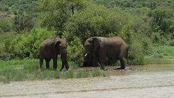 Elephants playing around.