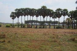 カンボジアならではの乾季の水田風景。