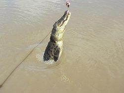 Krokodil im Sprung
