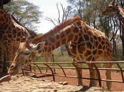 非洲濒危野生动物基金会(肯尼亚)-长颈鹿中心