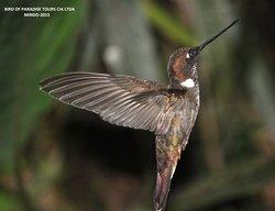 Brown Inca  Observación de Aves