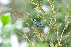 Beyl Spangled Tanager  Bird Paradise Tours