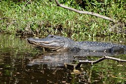 Alligators a'plenty