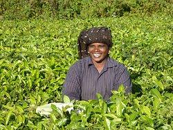 Tea picker near Munnar