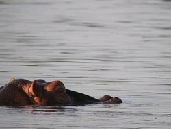 Hippos in Shire River