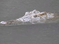 Crocodiles is Shre River