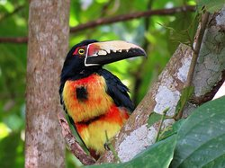 Panama Pipeline Bird Tours