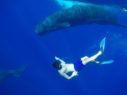 Swimming with Sperm whales! Best experience I had in my life!