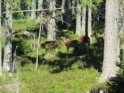 Návštěvnické centrum Kvilda - jelení a rysí výběh