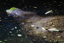 another manatee eating lettace
